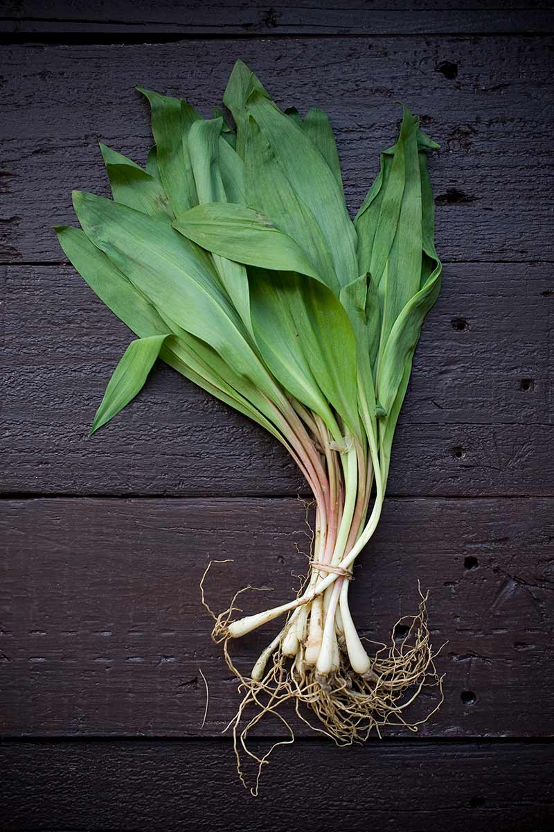 An overhead photo of wild ramps